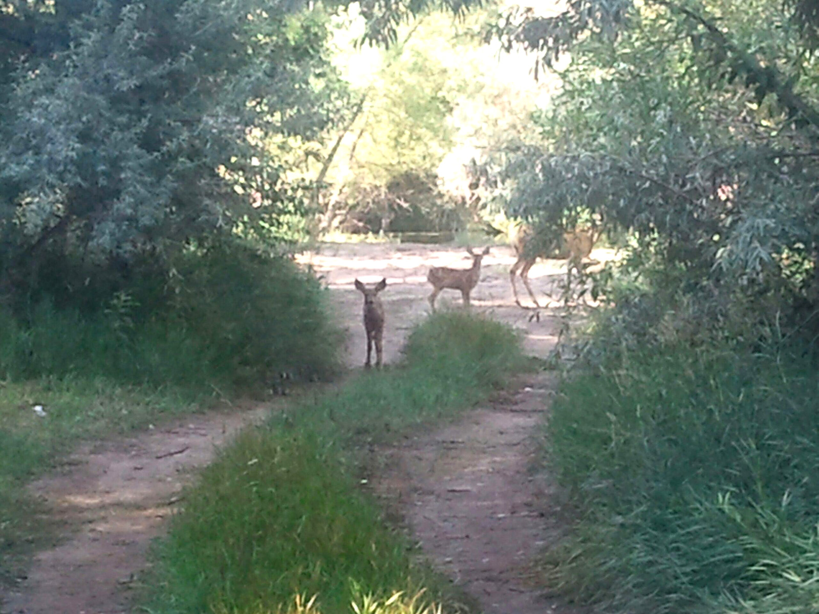 Deer wandering on the Pateros Creek property