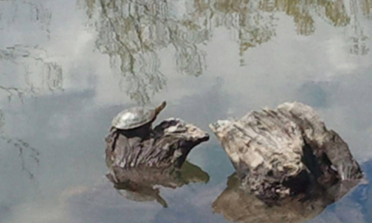 Turtles and other wildlife are thriving on and around the property
