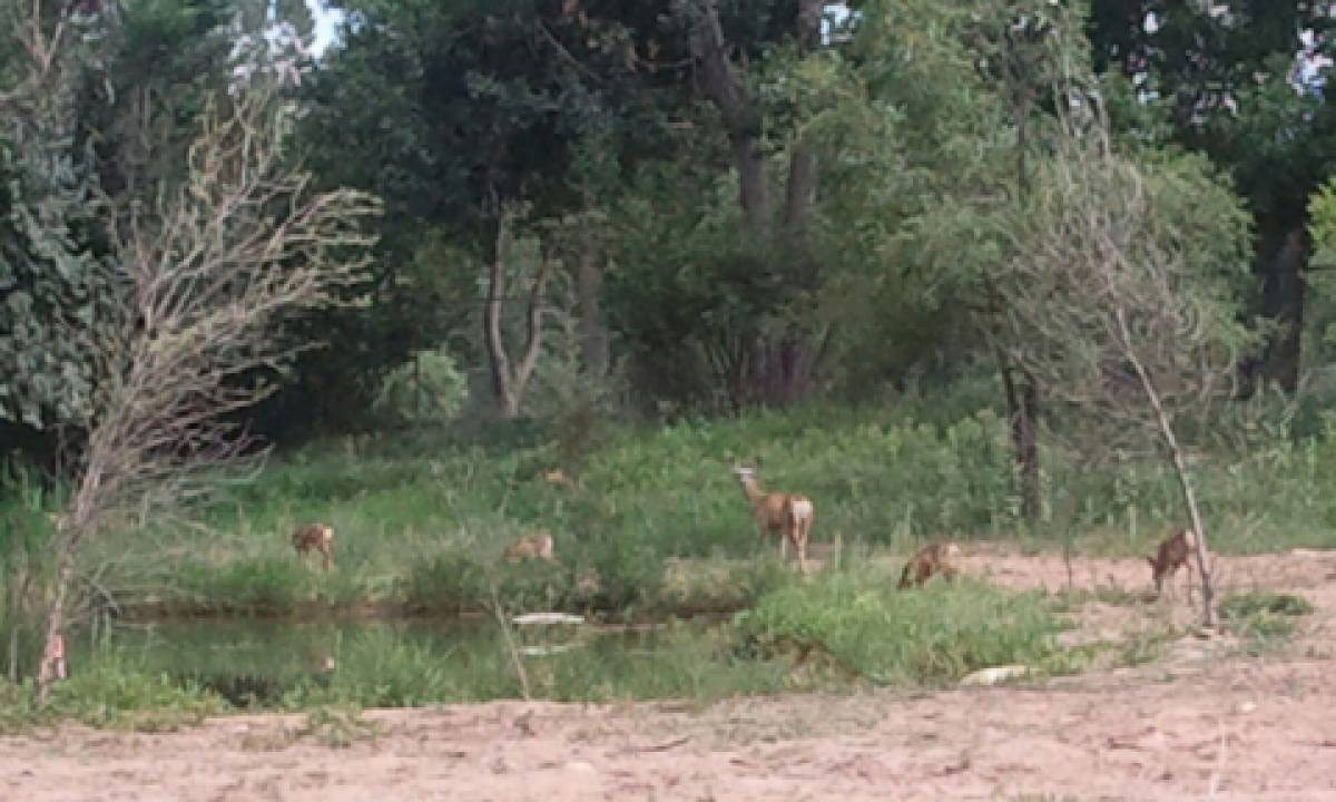 Deer near Pateros Creek