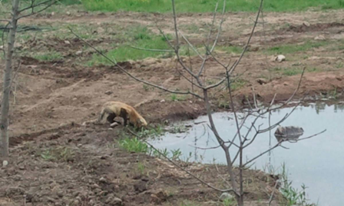 Wildlife like this fox are abundant surrounding Pateros Creek